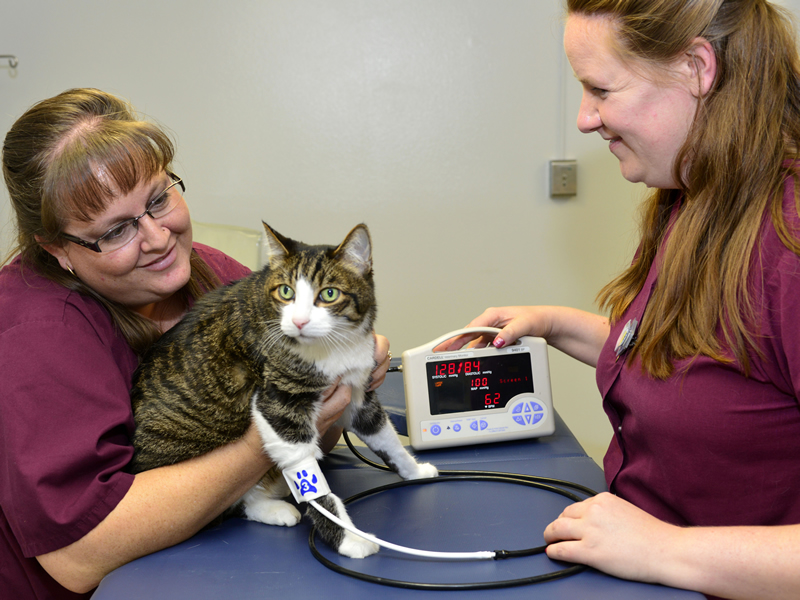Two smiling techs taking a cat's blood pressure and pulse